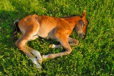 Free Sleeping Colt Stock Image - 15993121