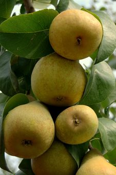 Free Fresh Ripe Pears Royalty Free Stock Photography - 15994017