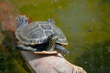 Free Turtle Stock Image - 15994061