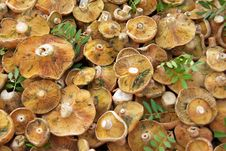 Free Edible Fungus Stock Image - 15994321