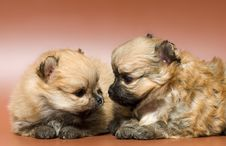 Two Puppies Of The Spitz-dog Stock Photo