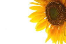 Free Sunflowr Stock Image - 15994861