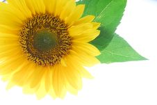 Free Sunflower Stock Images - 15994884