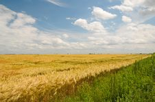 Free Wheat Field Royalty Free Stock Images - 15995339