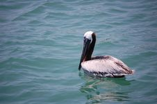 Free Brown Pelican Royalty Free Stock Photo - 15997255