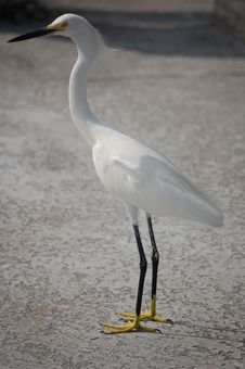 Free Snowy Egret Stock Photo - 15997280