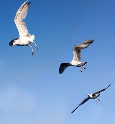 Free White Seagulls Flying Royalty Free Stock Photo - 15998605