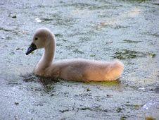 Free Swan Chick Stock Image - 161201