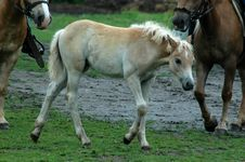 Young Pony Royalty Free Stock Photo
