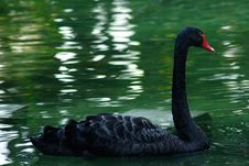 Free Black Swan Royalty Free Stock Photography - 163157