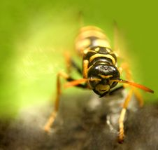 Free Wasp...(4) Royalty Free Stock Photography - 164477