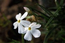 Free Long Leaf Phlox Flower Royalty Free Stock Photography - 164577