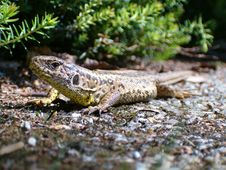 Free Lizard In The Sun Royalty Free Stock Photo - 164855