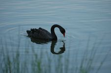 Free Black Swan Royalty Free Stock Photos - 166868