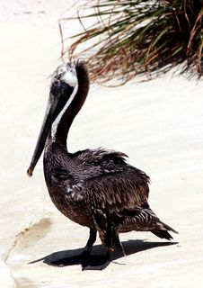 Free Eastern Brown Pelican Royalty Free Stock Photography - 167507