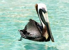 Free Brown Pelican Royalty Free Stock Photos - 167508