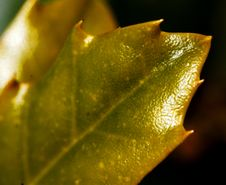 Free Shiny Spikey Leaf Stock Photography - 168522