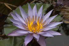 Free Waterlily On Pond Royalty Free Stock Photos - 168668