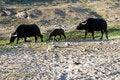 Free Group Of Buffalo Royalty Free Stock Photos - 1602888