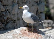 Free Sea Gull At Rock Stock Image - 1600291