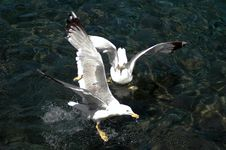Free Sea Gull Fight Royalty Free Stock Photo - 1600295