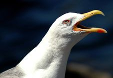 Free Sea Gull Stock Images - 1600304