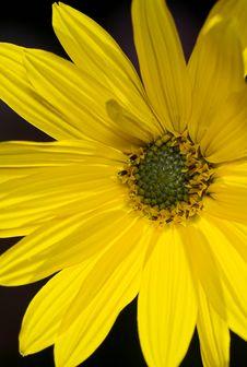 Free Sun Flower Stock Photo - 1600630