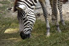 Free Zebra Stock Image - 1600711