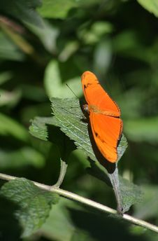 Free Julia Butterfly (Dryas Julia) Royalty Free Stock Photography - 1601537