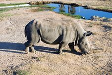 Free White Rhinoceros Royalty Free Stock Photos - 1602838
