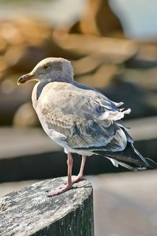 Free Sea Gull Stock Photo - 1602990