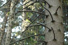 Closeup Of Bunya Pine Royalty Free Stock Photos