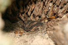 Camouflaged Toad Stock Images