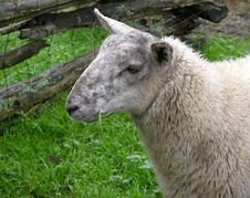 Free Sheep Stock Photography - 1606612