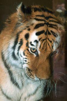 Free Bashful Tiger Royalty Free Stock Image - 1606916