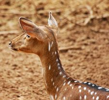 Free Fawn Deer Stock Photo - 1607280