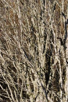 Free Coppiced Birch Stock Images - 1607494