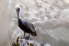 Pelican Standing On Rock Overlooking Ocean Off Coast Of Pismo Be Stock Photos