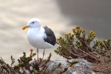 Free Seagull Standing On Rocks Overlooking Ocean At Pismo Beach Calif Royalty Free Stock Photos - 1607748