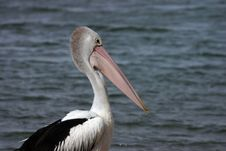 Australian Pelicans (Pelecanus Conspicillatus) Stock Photo