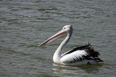 Australian Pelicans (Pelecanus Conspicillatus) Stock Photography