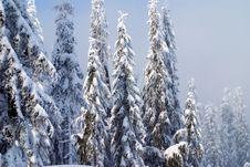 Free Snow Trees Royalty Free Stock Photo - 1607905