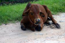 Free Cow Royalty Free Stock Photo - 1608695