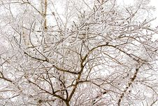 Free Snowy Trees Royalty Free Stock Photography - 1609937