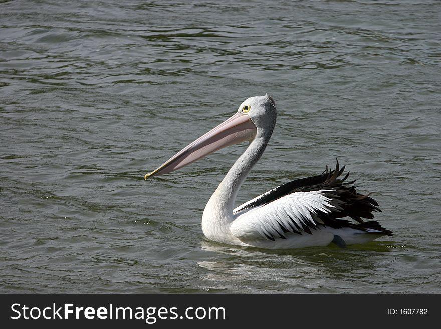 Australian Pelicans (Pelecanus conspicillatus)