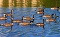 Free Canadian Goose Stock Photo - 16001990