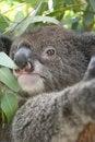 Free Koala Stock Photo - 16006530
