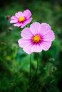 Free Decorative Flowers Stock Image - 16007491