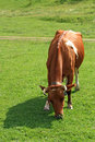 Free Cow Royalty Free Stock Photography - 16008467