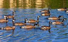 Free Canadian Goose Stock Photo - 16001990